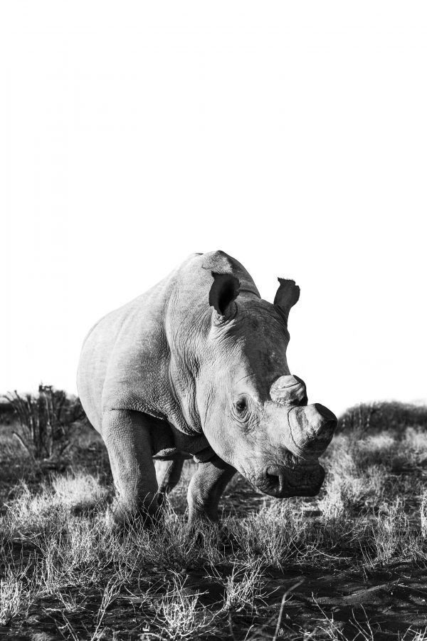 black and white image of a dehorned rhino