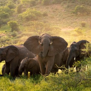 a herd of elephants surrounded by lush green bushes