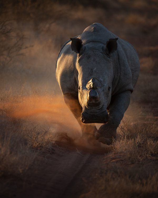 a large male rhino running down a dirt road
