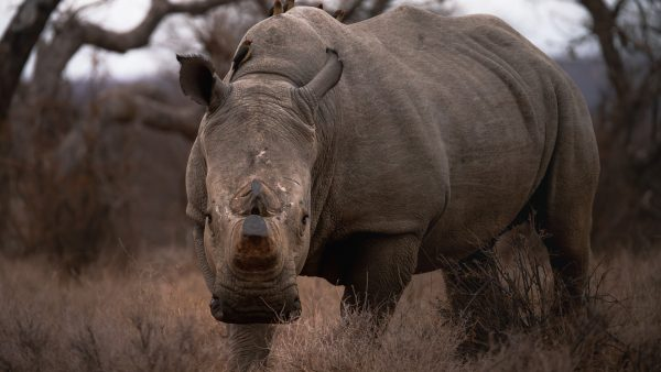 large male rhino stares at the camera from dry bushveld