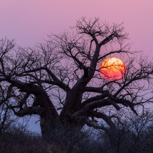 the sun setting behind a baobab tree with no leaves